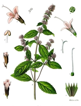 Peppermint, a hybrid of Spearmint and Watermint